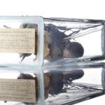 Beispiel für Gallwespen-Gallen auf Eichenblättern (Foto: Thomas Hartman, Universitätsbibliothek Mainz)
