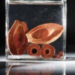 Frucht der Kokospalme (Cocos nucifera) (Foto: Thomas Hartmann Universitätsbibliothek Mainz)