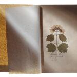 Gewöhnlicher Schneeball (Viburnum opulus) (Foto: Thomas Hartmann, Universitätsbibliothek Mainz)