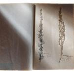 Gewöhnlicher Beifuß und Wermut (Artemisia vulgaris und absinthium) (Foto: Thomas Hartmann, Universitätsbibliothek Mainz)