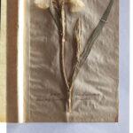 Sumpf-Schwertlilie (Iris pseudacorus) (Foto: Thomas Hartmann, Universitätsbibliothek Mainz)