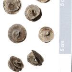 Scheiben-Schneckenklee (Medicago orbicularis) (Foto: Thomas Hartmann, Universitätsbibliothek)