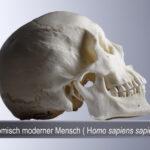 Anatomisch moderner Mensch (Homo sapiens) (Foto:Thomas Hartmann, Universitätsbibliothek Mainz)