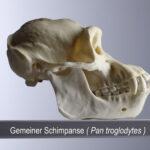 Gemeiner Schimpanse (Pan troglodytes) (Foto: Thomas Hartmann, Universitätsbibliothek Mainz)