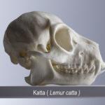 Katta (Lemur catta) (Foto:Thomas Hartmann, Universitätsbibliothek Mainz)