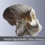 Brauner Kapuzineraffe (Cebus olivaceus) (Foto: Thomas Hartmann, Universitätsbibliothek Mainz)