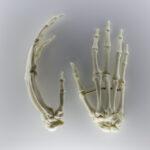 Handknochen eines Primaten (Foto: Thomas Hartmann, Universitätsbibliothek Mainz)