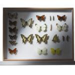Schmetterlinge (Foto:Thomas Hartmann, Universitätsbibliothek Mainz)