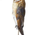 Mtteleuropäische Schleiereule (Tyto alba guttata) auf Handstab (Foto: Thomas Hartmann, Universitätsbibliothek Mainz)