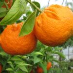 Bitterorange oder Pomeranze (Citrus x aurantium) (Foto: Ralf Omlor, Botanischer Garten)