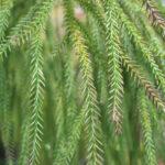 Rimu-Harzeibe (Dacrydium cupressinum) (Foto: Ralf Omlor, Botanischer Garten)