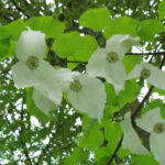 Taschentuchbaum (Davidia involucrata) (Foto: Ralf Omlor, Botanischer Garten)