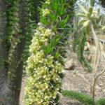 Didierea trollii (Foto: Ralf Omlor, Botanischer Garten)