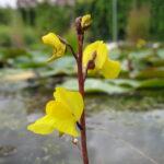 Gewöhnlicher Wasserschlauch (Utricularia vulgaris) (Foto: Ralf Omlor, Botanischer Garten)